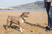Dog playing and training with ball in the beach. — Foto de Stock