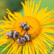 Three bumblebees — Stock Photo #12402141
