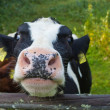 Domestic cow — Stockfoto