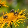 Three bumblebees — Stock Photo #12487434