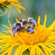Four bumblebees — Stock Photo #12487453