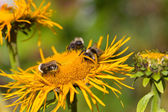Three bumblebees — Stock Photo