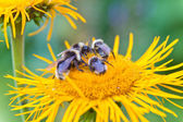 Four bumblebees — Stock Photo