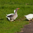 Rural goose — Stock Photo