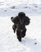 Black poodle walking on snow — Stock Photo