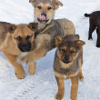Pack of stray puppies — Stock Photo