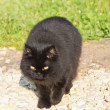 Long-haired black cat — Stockfoto