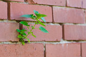 Plant in the brick wall — Stock Photo