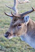 Portrait of deer — Stock Photo