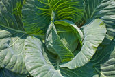 Young cabbage — Stock Photo