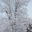 Stock Photo: Tree in snow