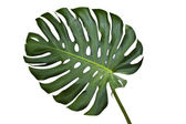 Monstera — Stock Photo
