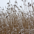 Reeds in the winter — Stock Photo