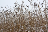 Reeds in the winter — Stockfoto