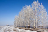 Birch trees and the road — Foto Stock