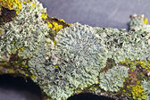 Lichens on a branch — Stock Photo