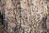 Ants on a tree stump — Stock Photo