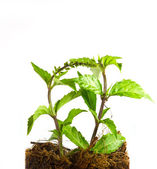 Kidney Tea Plant — Stock Photo