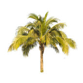 Coconut tree isolated on white background — Stock Photo