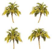 Set of coconut tree isolated on white background — Stock Photo
