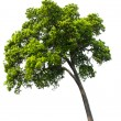 Beautifull green tree on a white background — Stock Photo