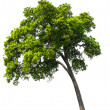 Stock Photo: Beautifull green tree on a white background