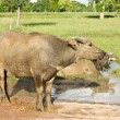 Buffaloes are immersed in water. — Stock Photo