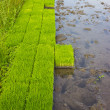 Rice seedlings. — Stock Photo
