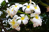Plumeria flowers,white flower. — Stock Photo