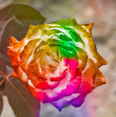 Vintage colors roses. — Stock Photo