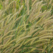 Reeds grass in wind. — Stock Photo #36477525