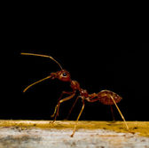 Red ants on black — Stock Photo