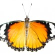 Butterfly on white background — Stock Photo #37051939