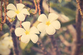 Vintage white frangipani. — Stock Photo