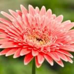 Pink gerbera. — Stock Photo #48626607