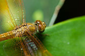 Dragonfly. — Stock Photo