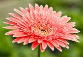 Pink gerbera. — Stock Photo