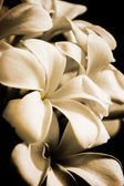 Frangipani flower on old paper. — Stock Photo