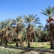 An oasis of date palms — Stock Photo