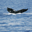 Tail of Whale — Stockfoto