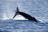 Splash of Humpback whale — Stock Photo