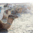 Beduins with group of camels - Stock Photo