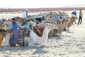 Camels lieing down — Stock Photo