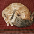 Two cats curled up — Stock Photo
