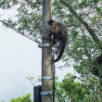 Monkey climbing the power pole — Stock Photo