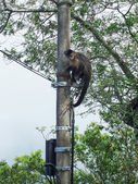 Monkey climbing the power pole — Stock Photo