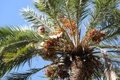 Old man climbing on palm tree in oasis — Stock Photo