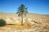 Palm tree in Sahara — Stock Photo