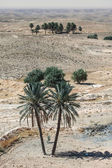Palm trees in desert Sahara — Stock Photo