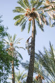 Man climbing on date palm tree at oasis — Stock Photo